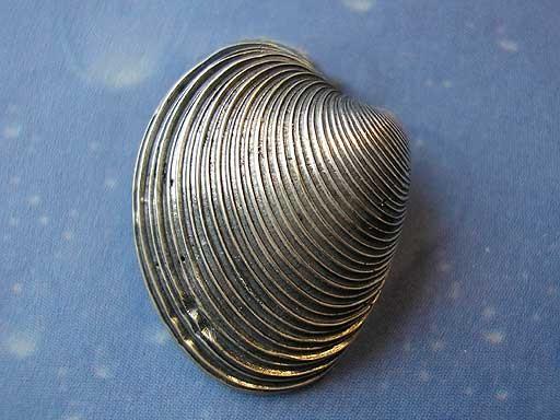 Feingestreifte Venusmuschel Pin